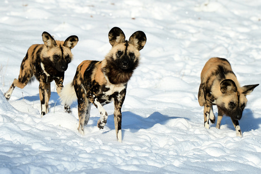 Snow scenes at ZSL Whipsnade Zoo