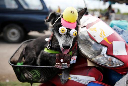 A dog wears fake eyes while riding a motorcycle in Samut Sakhon