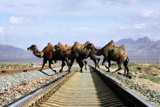 A row of camels cross a track of the Qinghai-Tibet Railway in Delingha County