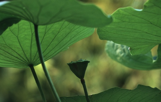 Lotusblomst (Nelumbo lotus). Asiatisk vannplante, hellig. Botanisk Hage, Tøyen, Oslo.