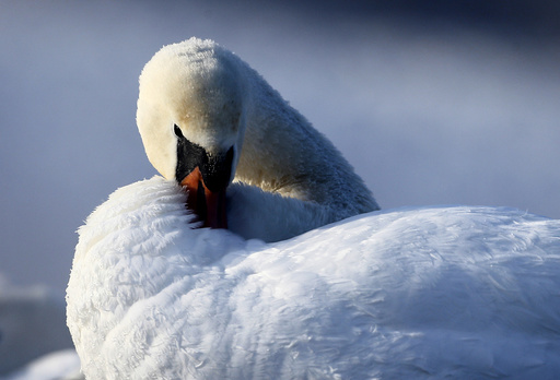 A mute swan is seen in a lake as the temperature dropped to around minus 23 degrees Celsius (minus 9.4 degrees Fahrenheit) on the outskirts of Minsk