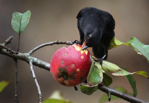 Blackbird in apple tree