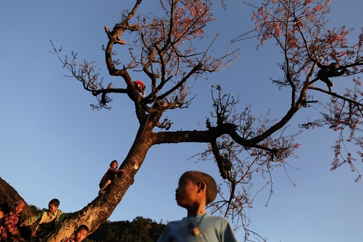 Naga boys climb a tree to collect cherry blossom in Yansi village, Donhe township in the Naga Self-Administered Zone