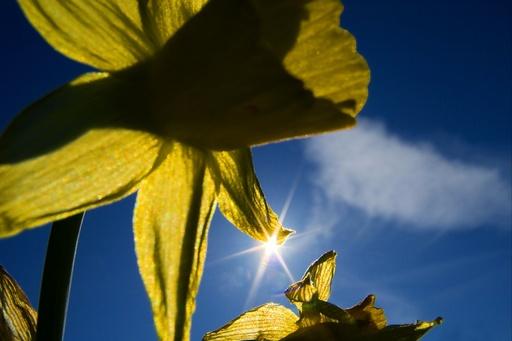 Påskeliljer (Narcissus) i påskesol fra blå himmel. Gult hører påsken til. Blomster. Symboler. Vår.