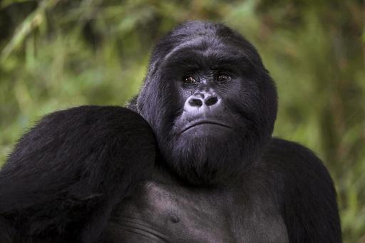 Bugingo is seen at Mgahinga Gorilla National Park