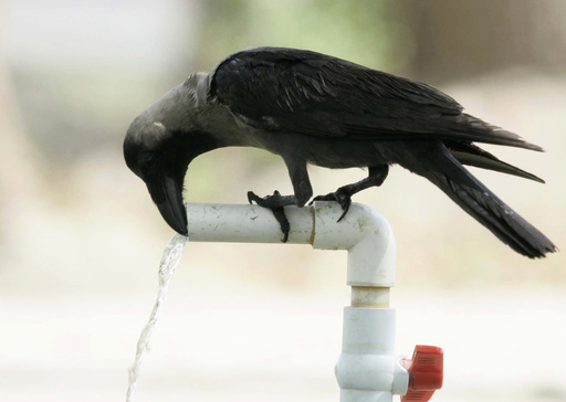 A bird cools itself down from the heat at a water tap in Hyderabad
