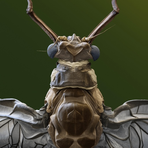Green drake mayfly, SEM
