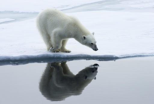Isbjørn (Ursus maritimus) speiler seg selv i vannflaten. Drivis, Polhavet. Svalbard. Arktis.