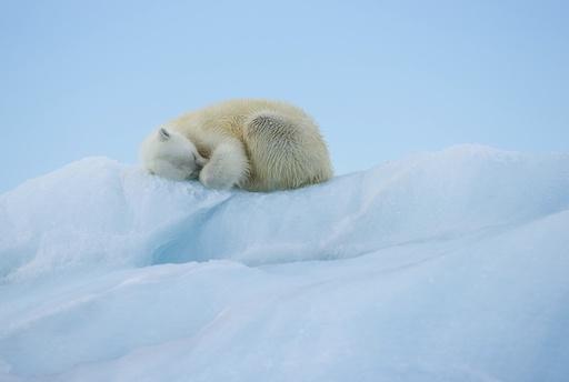 Isbjørn (Ursus maritimus) hviler på isfjell. Austfonna, Nordaustlandet, Svalbard. Arktis.