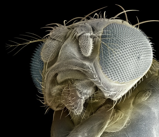 Fruit fly head, SEM