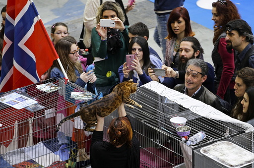 People look at a Bengal cat during the Mediterranean Winner 2016 cat show in Rome