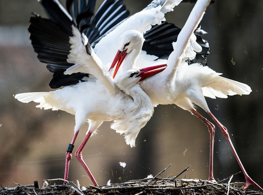 The stork's call