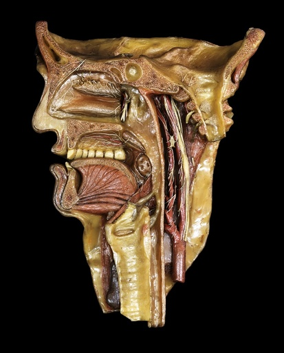 Head and throat model, 18th century
