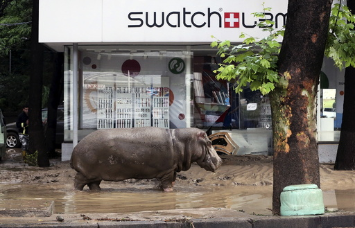 A hippopotamus walks across flooded street in Tbilisi