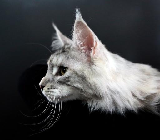 Cat exhibition in Bishkek