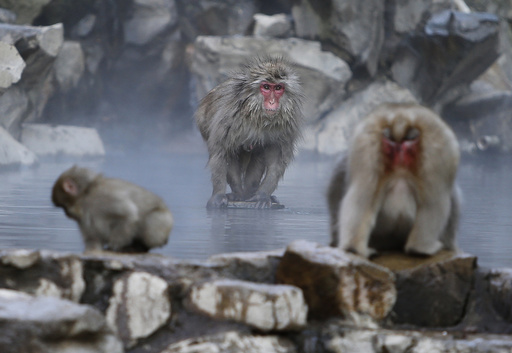 A Japanese macaque sits on a rock inside a hot spring at a valley in Yamanouchi town