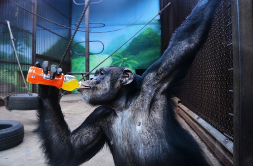 A chimpanzee drinks beverage to cool off the summer heat in Shenyang