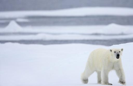 Isbjørn (Ursus maritimus) i drivisen. Drivis. Hvitbjørn. Verdens største landrovdyr. Kjøtteter. Rovdyr. Bjørn. Spitsbergen. Arktis. Svalbard