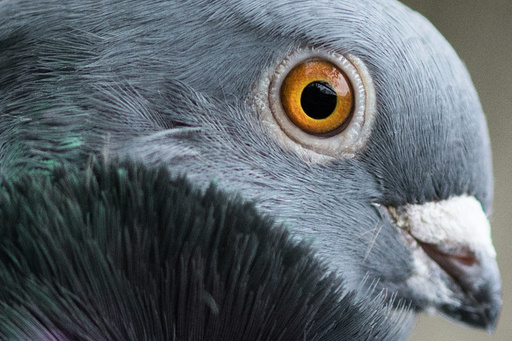 Breeders present Chinese Owl pigeons