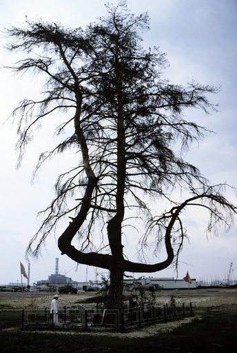 Pine tree near Chernobyl power station
