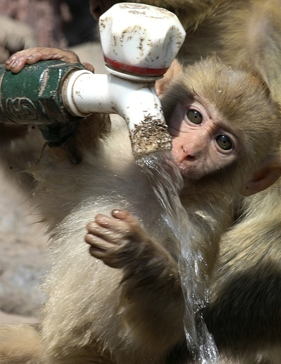 A macaque drinks tap water to cool down in Jiyuan, Henan