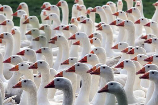 Goose farm in Veckenstedt