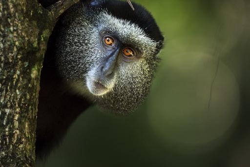 Stulmann's blue monkey (Cercopithecus mitis stuhlmanni) female portrait. Kakamega Forest South, Western Province, Kenya.