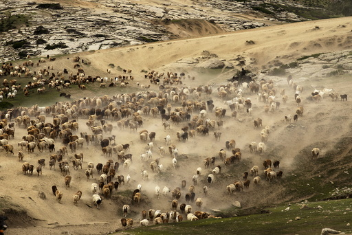 A herdsman riding a horse directs a large herd of cattle, sheep and goats as they migrate to the summer pasturing areas at a mountainous region in Altay Prefecture