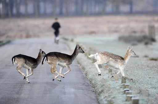 Deer run across the road as a man jogs through Richmond Park in south west London