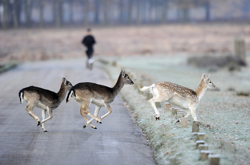 Deer run across the road as a man jogs through Richmond Park in south west London