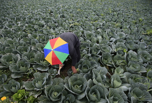 A farmer harvests broccoli in the town of al-Ansariyeh south of Sidon