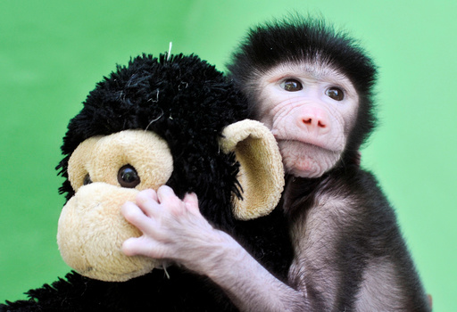 A 23-day-old hamadryas baboon plays with a stuffed toy at Sri Chamarajendra Zoological Gardens after the baboon, according to a zoo doctor, was abandoned by its mother after its birth on April 4, in Mysuru