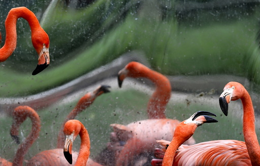 Caribbean flamingos are seen in their enclosure at Antwerp's zoo