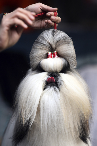 Owner of a Shih Tzu takes part in a dog show in the eastern Indian city of Kolkata