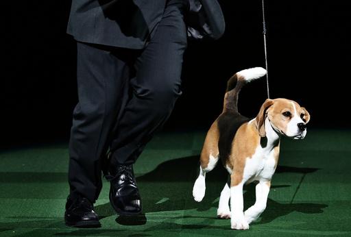 Miss P, a 15inch Beagle who won