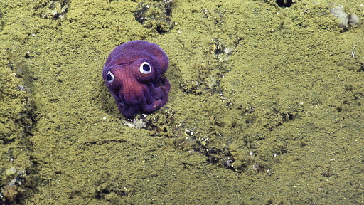 Googly-Eyed Squid Takes Ocean Scientists by Surprise: