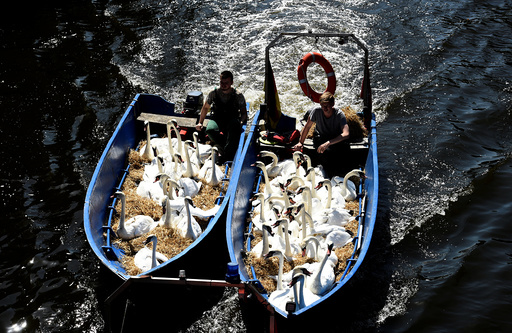 Swans are caught at Hamburg's inner city lake Alster