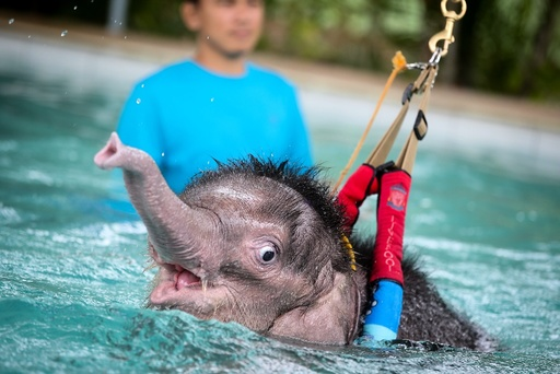 Six month-old elephant Fah Jam has hydrotherapy to help heal her injured foot.