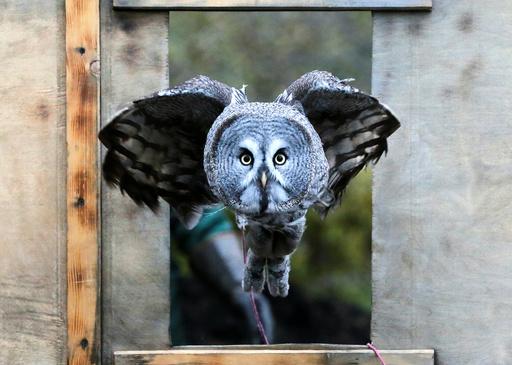 Great gray owl, flies through a window during a training session in Krasnoyarsk