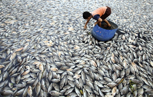 A child examines some of the dead farmed fish floating in Lake Maninjau, West Sumatra province Indonesia