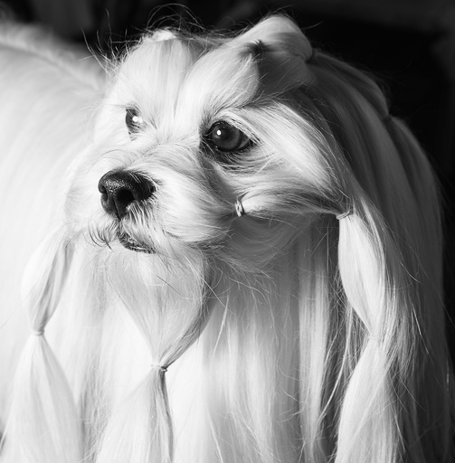 Josh, a Lhasa apso, after getting his hair tied up during preparation for competition at the Westminster Kennel Club Dog Show at Pier 92 in New York.