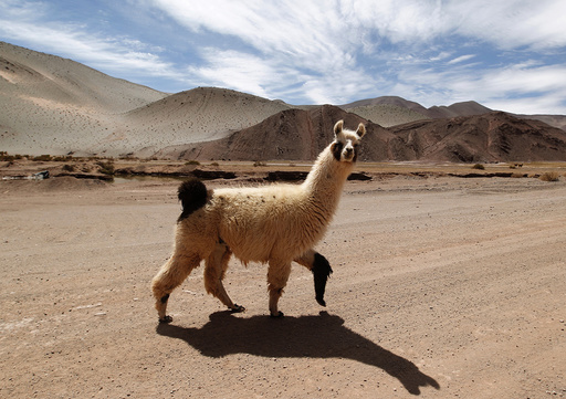 A llama crosses a road near the salt flat Tolillar on the high plateau of Salta Province