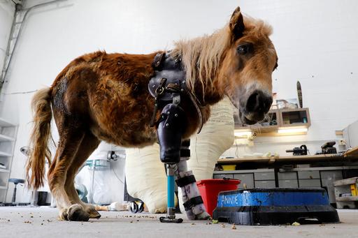 A mini horse wears a prosthetic leg in Sterling, Virginia