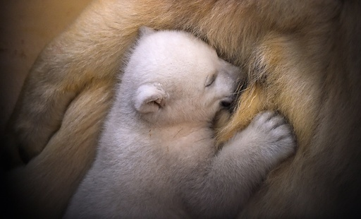 Baby polar bear in Germany