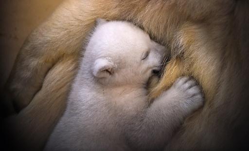 Baby polar bear in Germany