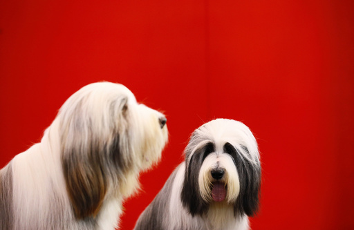 Bearded Collies sit on their grooming tables during the second day of the Crufts Dog Show in Birmingham