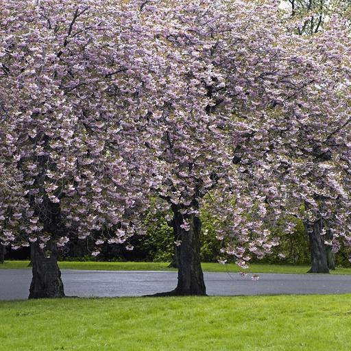 Blomstrende kirsebærtrær i park. Prydtre. Grøntområde. Hage. Vår. Botanisk hage. Tøyen. Oslo.