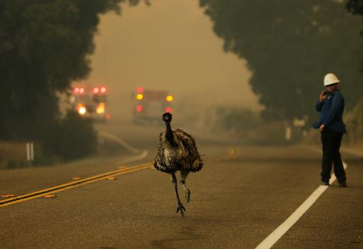 An emu runs to escape an approaching wildfire as it burns near Potrero, California