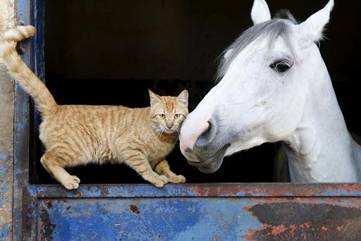 A cat stands near a horse in Beirut