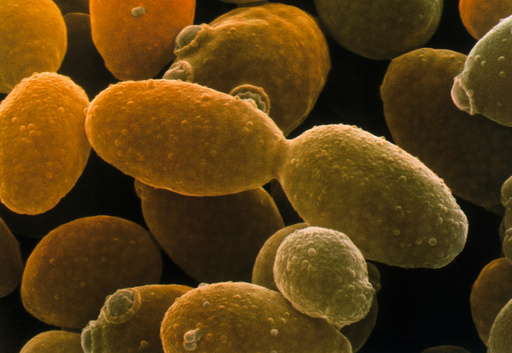 Yeast, Saccharomyces cerevisiae